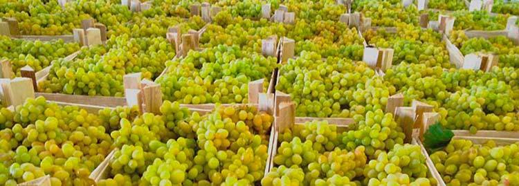 Купить виноград оптом в Санкт-Петербурге